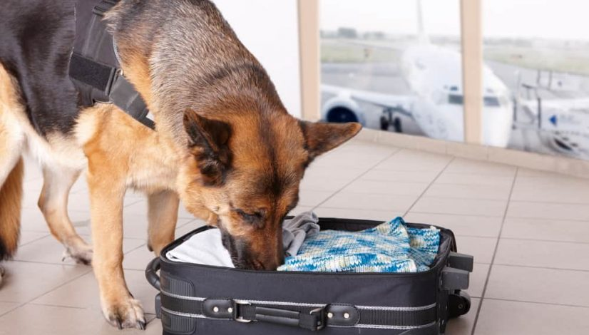 is-it-possible-to-trick-a-drug-sniffing-dog_1